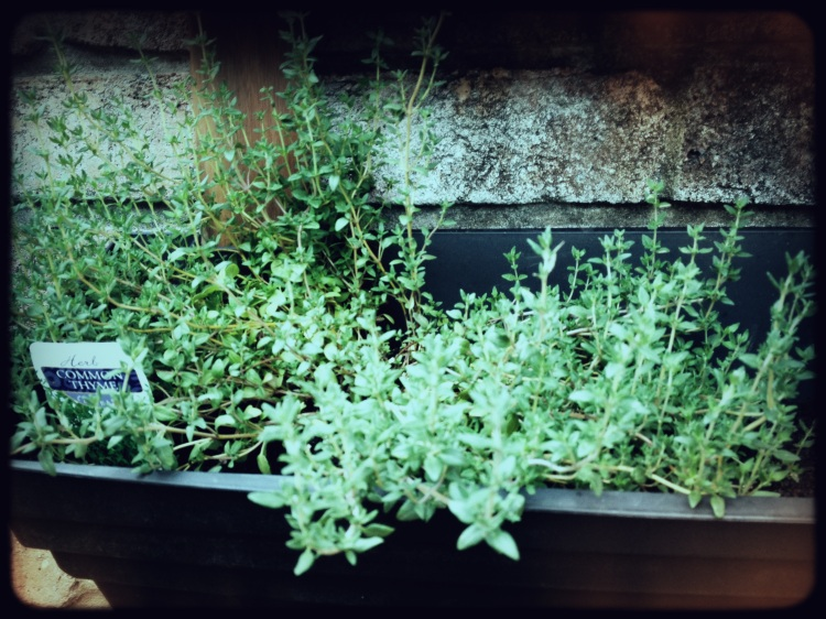 Thyme from the Wall Garden