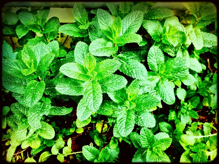Mint in my frontyard, essential ingredient in the Mojo and Mojito